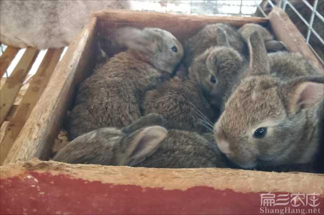 三明野兔养殖