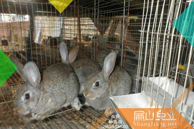 广东大型种兔养殖场