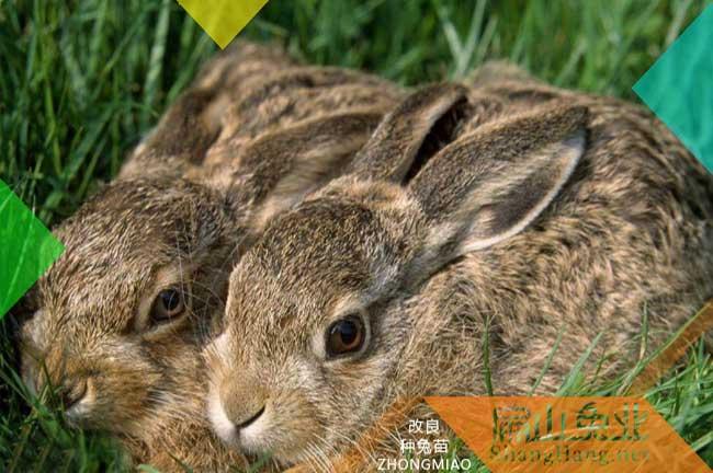 广东比利时种兔