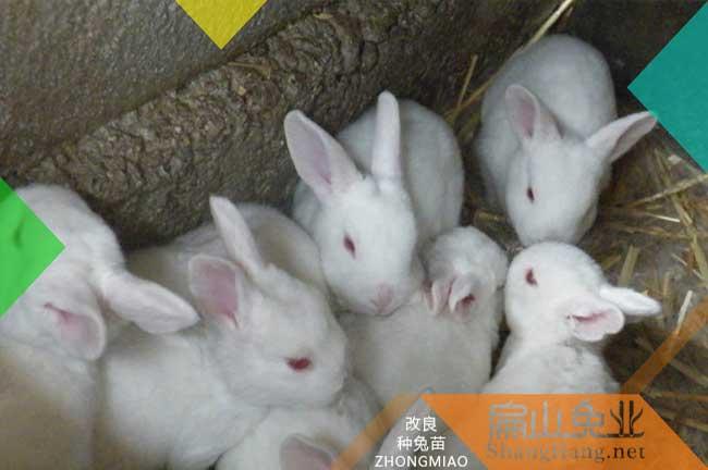 上杭伊拉兔养殖