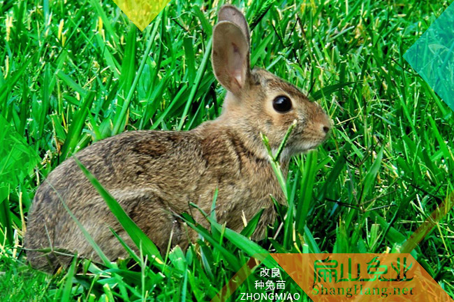 茂名肉兔养殖