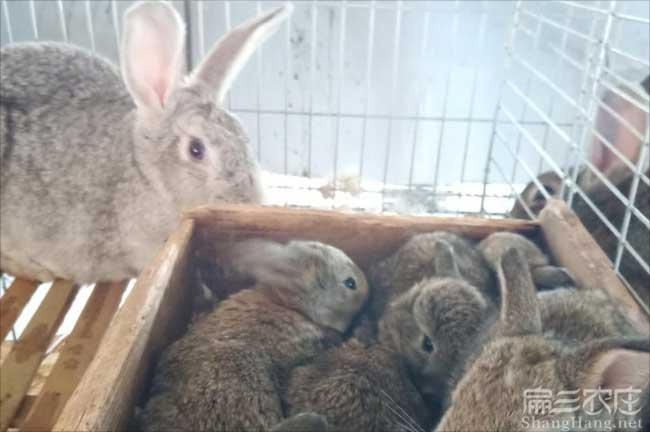 泉州恢毛兔养殖