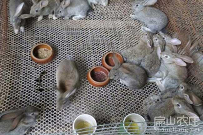 阳春比利时种兔子