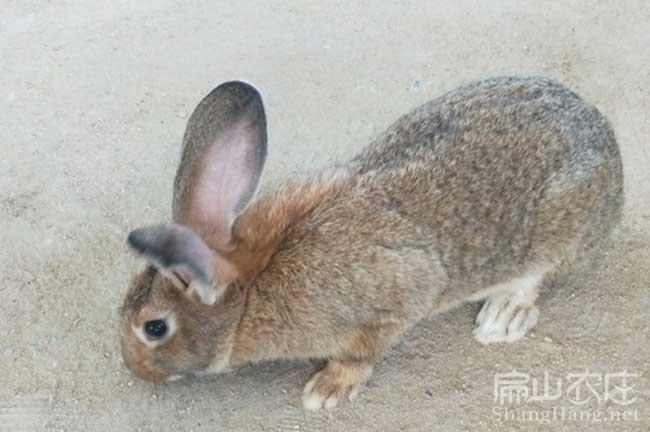 春阳比利时兔批发
