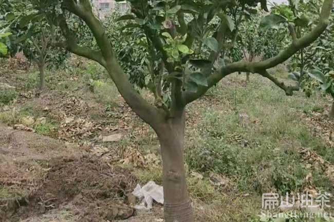 玉林柚子苗批发
