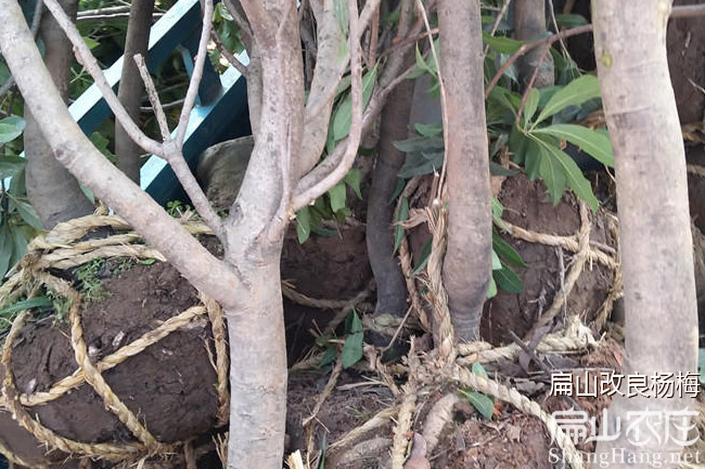 惠州杨梅种植