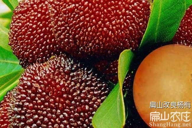 毕节杨梅种植