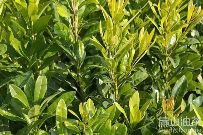 兴义杨梅种植