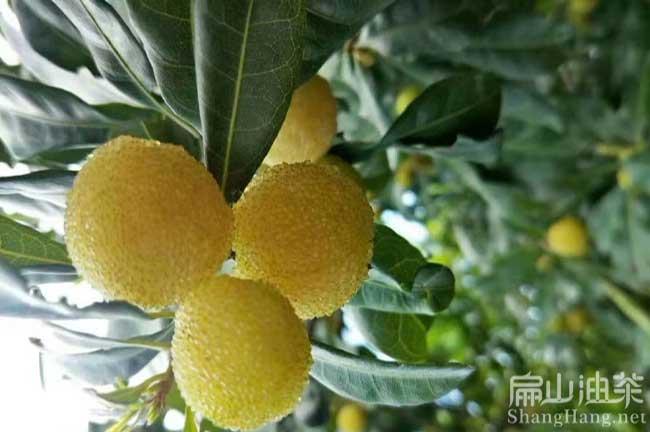 杨梅树苗栽培