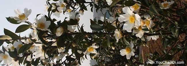 西善桥茶树管理技术与