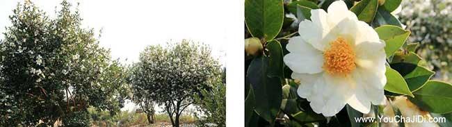 纳雍种植油茶哪个品种