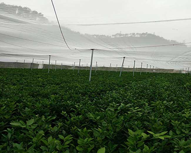 白鹭湖中国油茶种植基