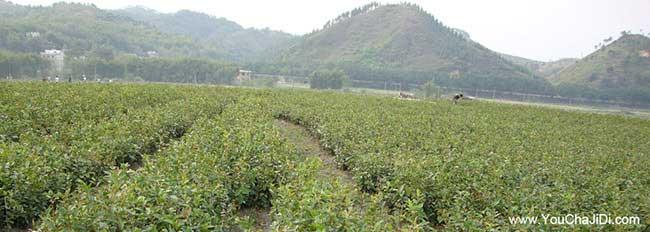 长沙山茶籽树苗