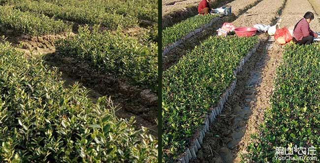 黔西油茶种植