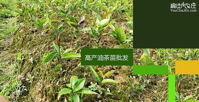藤县油茶基地