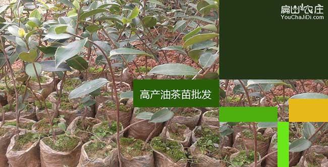 城厢镇国内首家集油茶