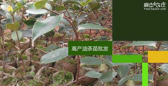 桂林油茶苗批发