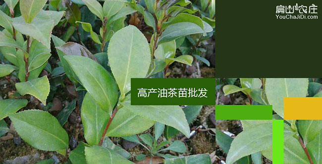 雷岭镇油茶成林丰产技