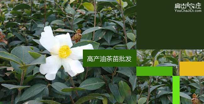 保康油茶苗挂果周期短