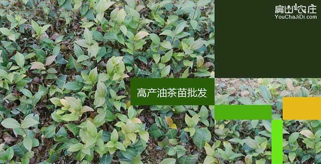 宜昌高产油茶基地