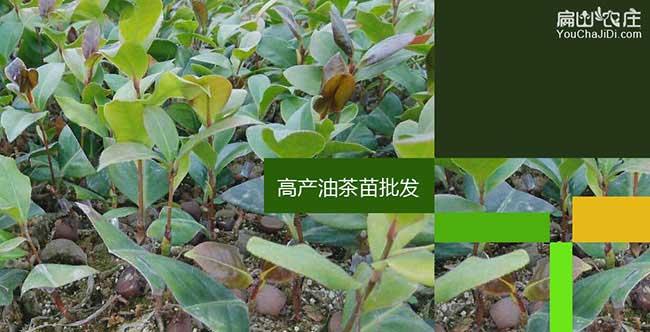 永寿县茶油价钱分类介
