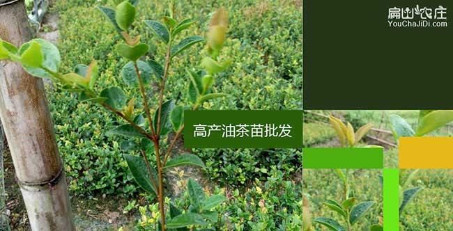 太平镇中国油茶种植基