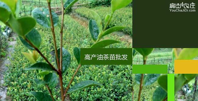 南岳茶树种植