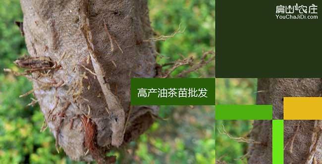 4➼均川茶树苗的管理