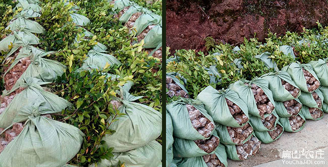 贵阳茶树苗种植