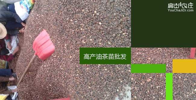 湖州茶籽回收