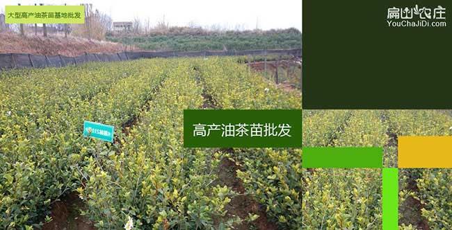 延长县国最最新品种油