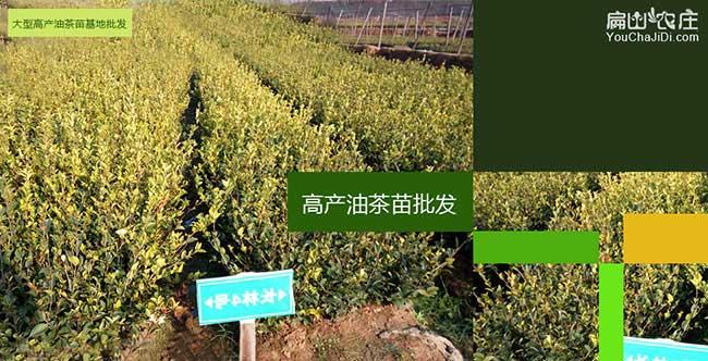 泥汊扁山发展油茶生产
