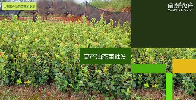 雷岭镇油茶种植技术培