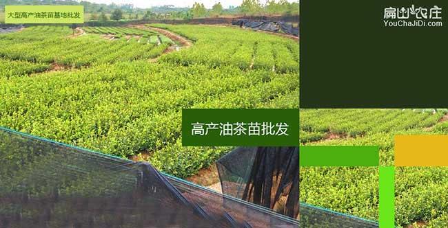 高产油茶苗种植基地