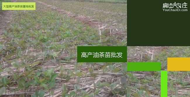 长林高产油茶苗
