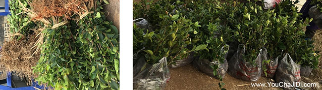 八公山油茶苗、茶树种
