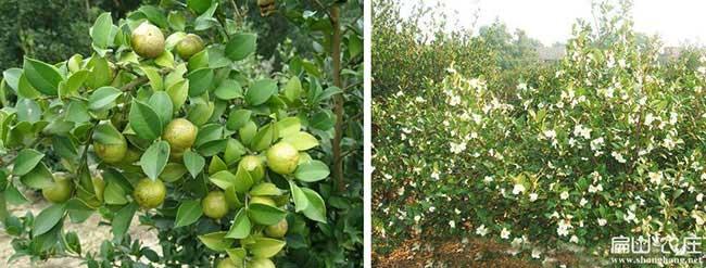 邳州市哪里有油茶种植