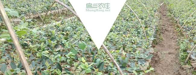 九江油茶基地