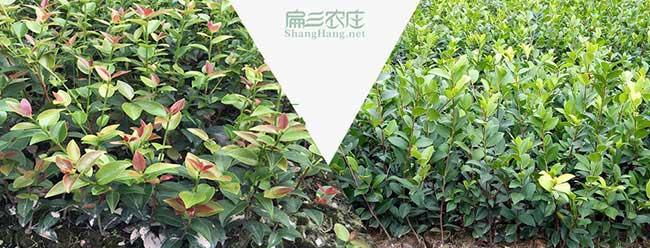 溧城镇国内首家集油茶