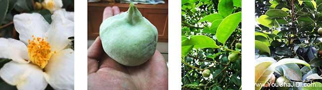 薛集茶树苗种植山的阴