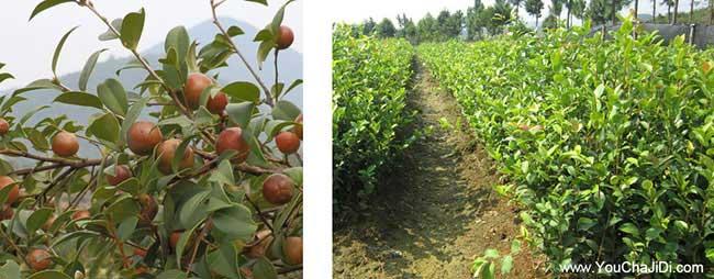 范岗油茶种植的土质检