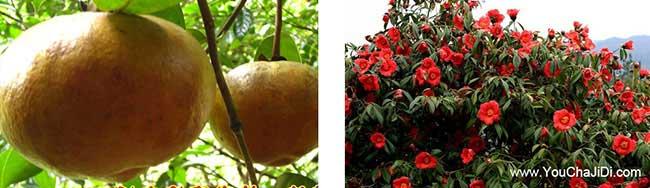 深澳镇油茶苗、茶树种