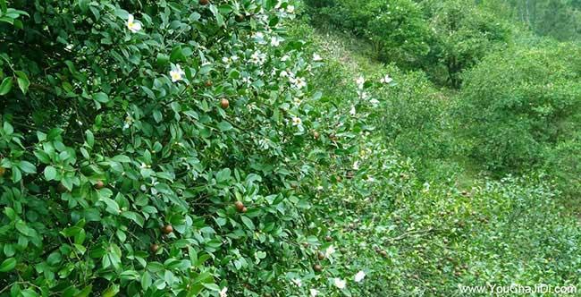 双港油茶种植技术培训