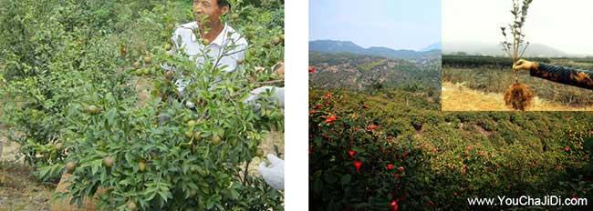 四望田街道油茶种植重