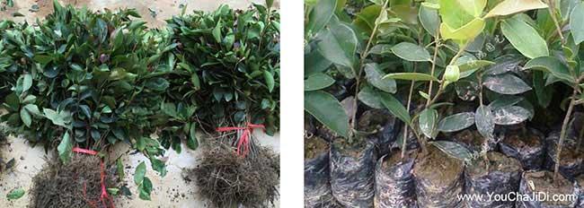 宁国油茶种植在泰国受