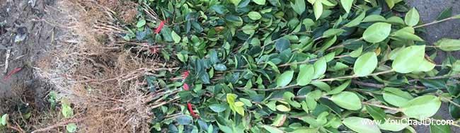 瓦坊油茶苗的最佳种植
