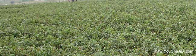 湖南油茶基地