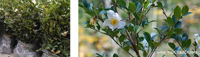 沛县一亩茶树苗可以产