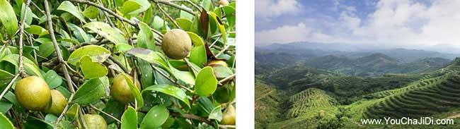 板桥南方种植油茶的注