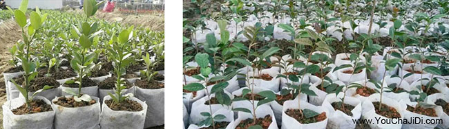 如果在三原县种植油茶